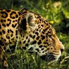 Diersoort: de jaguar