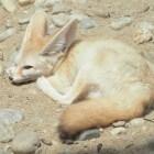 Woestijndieren, en hoe ze leven
