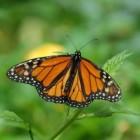 De Monarch vlinder