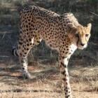 Diersoort: het Jachtluipaard