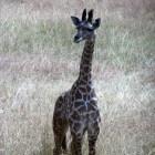 Het leven van een giraffe