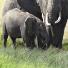 Het leven van de Aziatische olifant