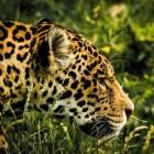 Jaguar: leefwijze, voortplanting en leefomgeving
