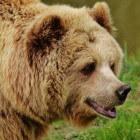 Verschillende bruine beren