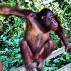 Orang oetan: leefomgeving en voortplanting