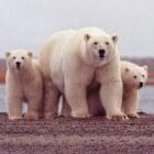 De witte ijsbeer