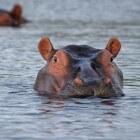 Het leven van een nijlpaard