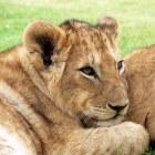 De voortplanting van de leeuw: paringsritueel en opvoeding
