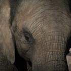 De olifant: paringsritueel, musth, voortplanting