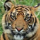 Het voortplantingsgedrag van de tijger
