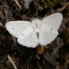 Lymantriidae of Donsvlinders