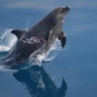 Over de dolfijn