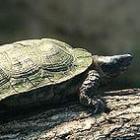 Waterschildpad: huisvesting, winterslaap en voedsel