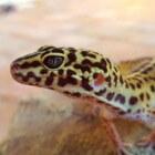 De luipaardgekko als huisdier