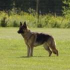 Herdershonden: een veelzijdig hondenras