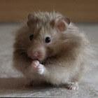 Mijn hamster heeft onverwacht een nest gekregen, wat nu?
