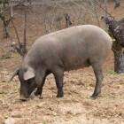 Autochtone dieren in Spanje