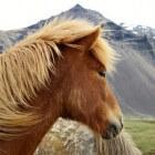 De IJslandse pony