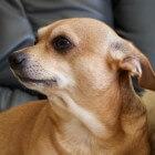 De Chihuahua, karaktereigenschappen en verzorging
