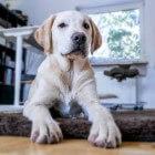 Honden: aanlijnplicht, opruimplicht en belasting