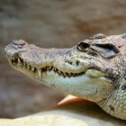 De krokodil, een oerdier