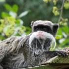 De Keizer Tamarin, een schattig aapje
