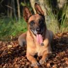 Hondenras: de Mechelse herder