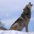 De Wolf (Canus Lupus)