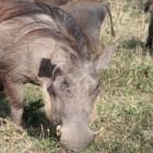 Het wrattenzwijn, parel onder de varkens