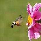 Evolutionair gelijk: kolibrie en kolibrievlinder