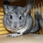 Chinchilla's in het wild