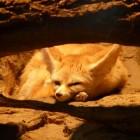 De Fennek: lijkt op een vos maar is het niet