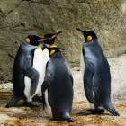 Alles over Pinguïns