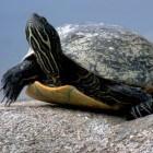 De Zeeschildpad: langzaam op het land, snel in het water
