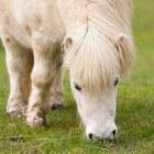 Een Shetlander, grasmaaier of sportpony?