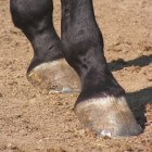 Paarden: Hoefverzorging