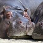 Het Nijlpaard: zwaar op het land, licht in het water