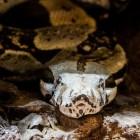 De Anaconda - een van de grootste slangen ter wereld