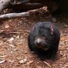 De Tasmaanse duivel - bijna uitgestorven