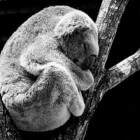 De Koala - een schattig buideldiertje