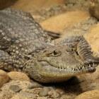 De alligator (amerikaanse) - Groter dan je zou denken