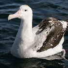 De Albatros - een bijzondere stormvogel
