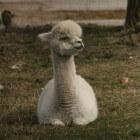De Alpaca - een kameelachtige uit het Andesgebergte