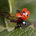 Het lieveheerstbeestje - erg nuttig tegen bladluis