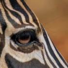 De zebra in Afrika