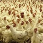 De schandalige bio-industrie: Onze kippen