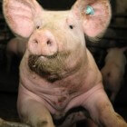 De schandalige bio-industrie: Onze varkens