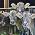 De schandalige bio-industrie: Onze koeien