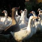 De schandalige bio-industrie: Onze eenden en ganzen