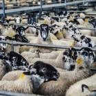 De schandalige bio-industrie: Onze schapen en geiten